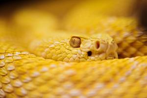 Albino rattlesnake