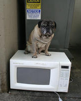Pug and White Microwave Oven