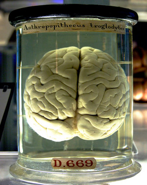 Chimp Brain in a jar